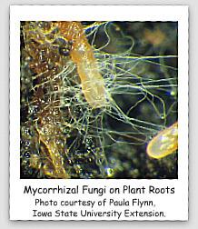 Iimage #1 mycorrhizal-fungi-on-plant-root